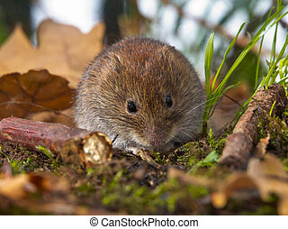 Bank vole sitting on forest floor - Bank vole Clethrionomys...