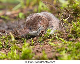 Pygmy shrew is hiding in moss