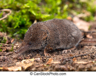 The Eurasian Pygmy Shrew is one of the smallest mammals in...