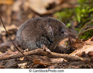 Eurasian pygmy shrew in forest - Eurasian pygmy shrew on...