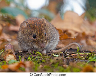 Bank vole hiding between the leaves - Bank vole...