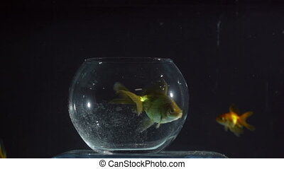 Goldfish Swimming out - Goldfish swimming out of the...