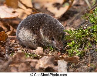 Crowned shrew in natural habitat