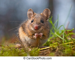 Wild mouse sitting on hind legs - Cute wood mouse sitting on...