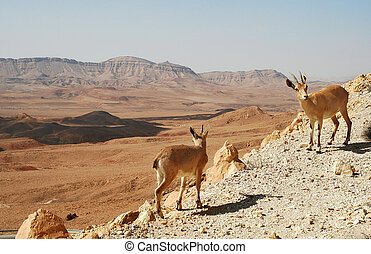 Ibexes on the cliff. - Two ibexes on the cliff at Ramon...