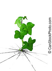 ivy grow from cracked ground - dewy green ivy grow from...