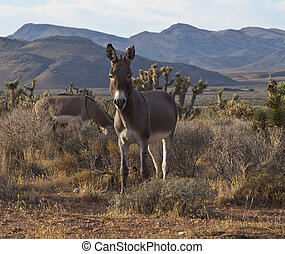 Wild Nevada Burros at Red Rock National Conservation Area...
