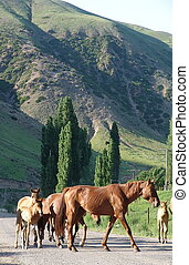 Kyrgyz horse with foals - Strong Kyrgyz horse with foals