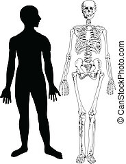 Human Skeleton - Image representing a human skeleton,...