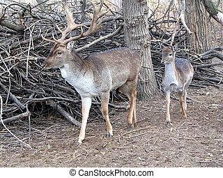 Deer with huge antlers in Kyrgyz - Male and female deer, the...