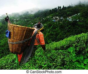 Nepali tea picker in Darjeeling - Nepali tea picker at the...