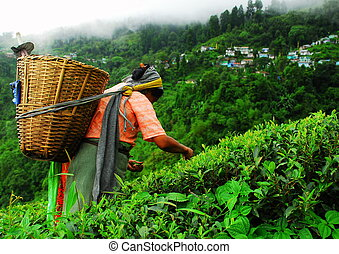 Nepali tea picker in Darjeeling - Nepali tea picker at the...