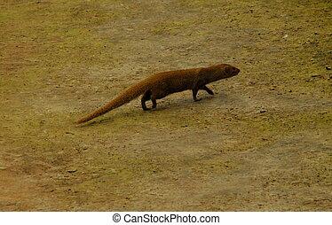 Indian mongoose running in Delhi - Indian mongoose running...