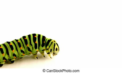crawling caterpillar