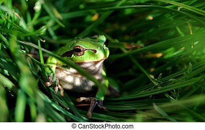 European tree frog - Europen tree frog in the green grass