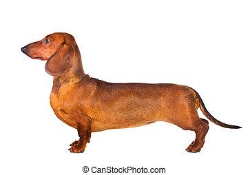 Dachshund Dog isolated over white background