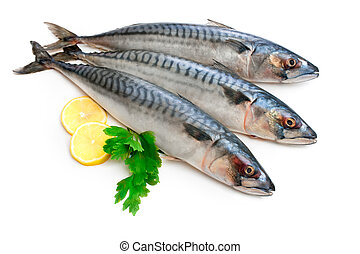 Mackerel Fish Scomber scrombrus over white background