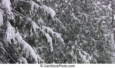After the storm. - Snowing beginning to slide off conifers....