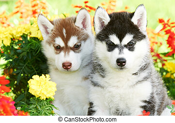 two Siberian husky puppy dog in flowers - group of Siberian...