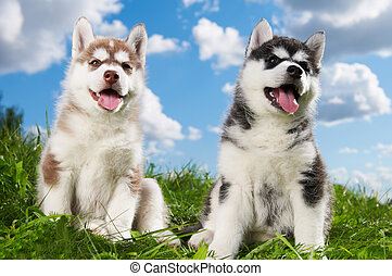 two Siberian husky puppy dog on grass - two little puppy of...
