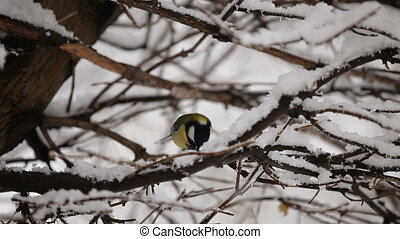 Titmouse on the snowy tree HD - Titmouse is sitting on the...