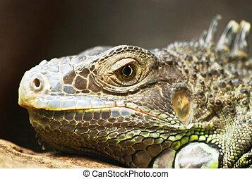 lizard - close up wiew of lizard head