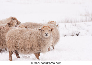 Sheep - Flock of sheep in the snow