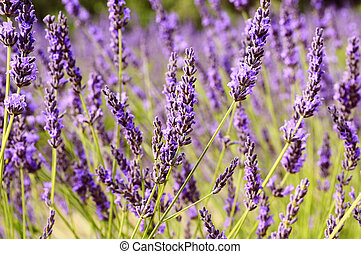 Lavender in the landscape - Image shows a lavender field in...