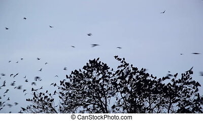 crows - a flock of crows