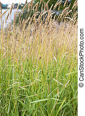 Pasture Grasses Flowering - Closeup low angle image of...