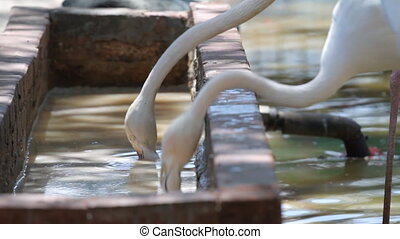 Flamingos - Three flamingos drinking water at a time