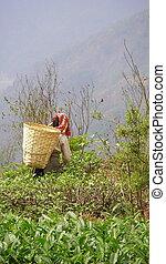 Tea picker in Darjeeling - Tea picker with wicker basket in...