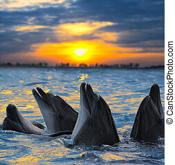 dolphins - The bottle-nosed dolphins in sunset light