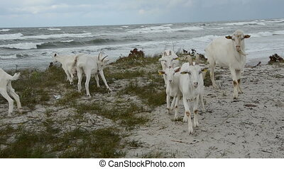 goats group on the sea beach in summer end time