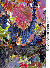 Red Wine Grapes on Vine - Red varietal wine grapes on vine,...
