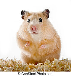hamster - pets, mammal, sawdust, hamster, animal, rodent,...