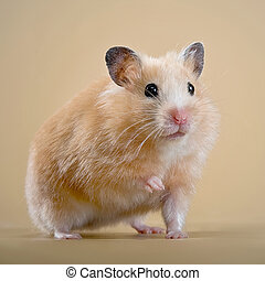 hamster - pets, hamster, animal, one, background, on, fur,...