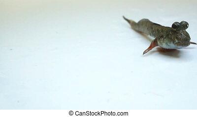 Mudskipper - Closeup of Mudskipper crawling across white...