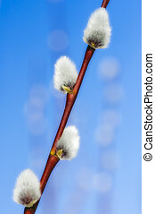 Catkin - Fluffy catkin in the springtime, blue sky