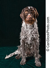German wirehaired pointer sitting and steering, dark...