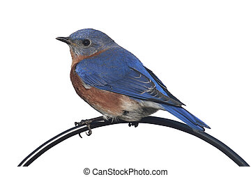 Isolated Bluebird On A Perch - Eastern Bluebird (Sialia...