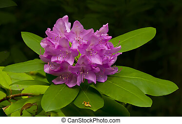 Rosy Rhododendron maximum in full bloom