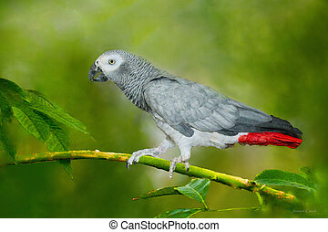 Congo African Grey Parrot walking on branch in tropical...