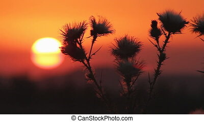 Prickly plant 5 - Wild flower or thistle moving in the...