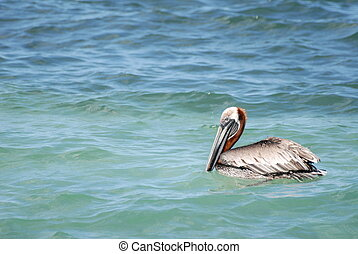 Pelican in turquoise water, Antigua - Pelican floating on...