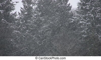 Snow fall and conifers. Two shots.