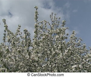Flowering fruit tree - Closing to flowering apple tree...