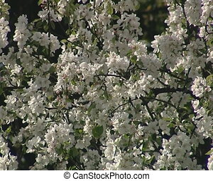 apple tree branch blooms - Apple tree branches with white...