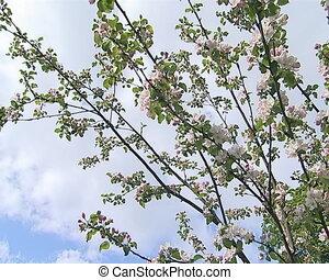 apple tree bloom spring - Fruit apple trees bloom in spring...