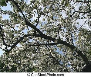 Spring apple tree blooms - Flowering apple tree branch on...